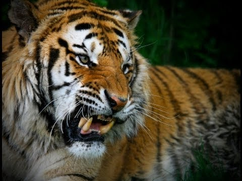 Man Eater: KILLER TIGER ATTACKS IN INDIA [Wildlife Nature Documentary] maneater tigers
