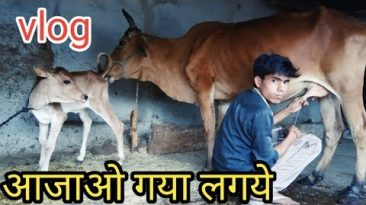 Cow vlog, cow work vlogs, vlogging work cow, India  working cow vlog, India cow vlogging