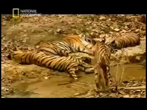 Man Eater KILLER TIGER ATTACKS IN INDIA Wildlife Nature Documentary maneater tigers